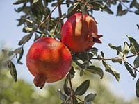 Adopt a Tree Pomegranate